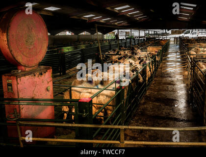 Hallworthy Stockyard, Kivells livestock market Cornwall - Stock Photo