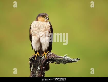 Portrait of Eurasian Sparrowhawk (Accipiter nisus) perched on a wooden post, Scotland, UK. - Stock Photo