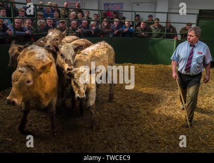 Hallworthy Stockyard, Kivells livestock market Cornwall - Stock Photo