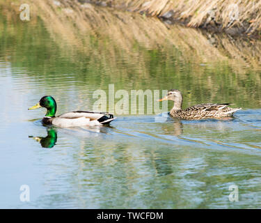 Waterfowl - Stock Photo