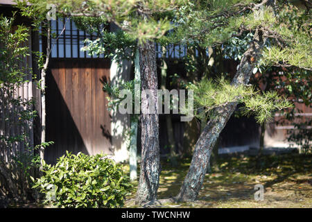 The old evergreen coniferous tree in the Japanese courtyard. - Stock Photo