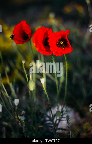 Three poppies flowers in the wheat field. Mallorca - Stock Photo