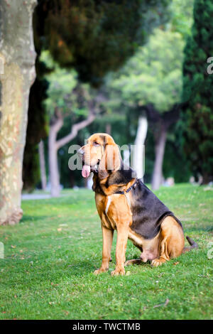 A lovely young bloodhound sits on a green lawn on a sunny summer day. - Stock Photo