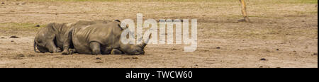 couple of southern white rhinoceros resting on the ground, Endangered animal specie from Africa - Stock Photo