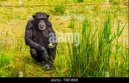closeup portrait of a western chimpanzee holding some food, zoo animal feeding, critically endangered primate specie from Africa - Stock Photo