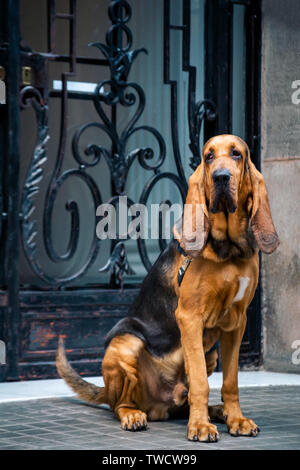 Handsome young male bloodhound sits on the street near the main entrance with a forged lattice. - Stock Photo