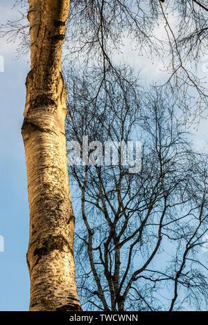 White birch bark ,golden in low sunlight,against blue sky and dark trees on london street - Stock Photo