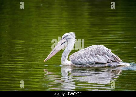 Dalmatian pelican or Pelecanus crispus in water - Stock Photo