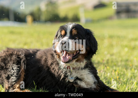 Beautiful San Bernardo dog in the first autumn snows in Bordes de Envalira, Canillo, Andorra. - Stock Photo