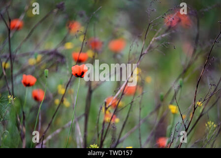 beautiful wild poppies in bloom and other flowers blurred - Stock Photo