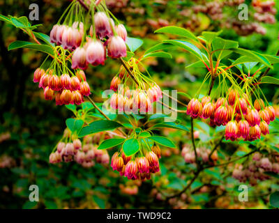 Creamy white bell-shaped flowers with red veins of redvein enkianthus (Enkianthus campanulatus) - Stock Photo