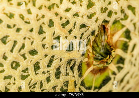 A tight macro of a Cantaloupe skin at the stem cut.  The skin has high detail, but the Depth of field is shallow.  The color is strong. - Stock Photo