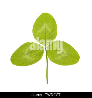 Green leaf of Clover or trefoil are common names for plants of the genus Trifolium, tres three and folium leaf consisting of the legume or pea family - Stock Photo
