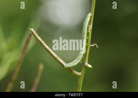 A pretty Orange-tip Butterfly Caterpillar, Anthocharis cardamines, feeding on a Garlic Mustard plant. - Stock Photo