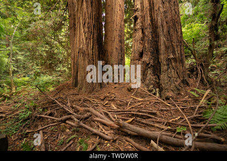 Some branch debris at the base of large Redwood Trees in Muir Woods National Park. - Stock Photo