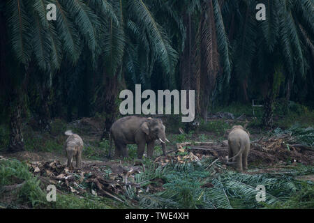 Bornean Elephant, Elephas maximus borneensis, in Oil Palm plantation, near Tawau, Sabah, Borneo, East Malaysia. - Stock Photo