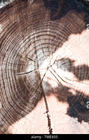 the stump of a felled tree is a section of the trunk with annual rings. The texture of the old stump.