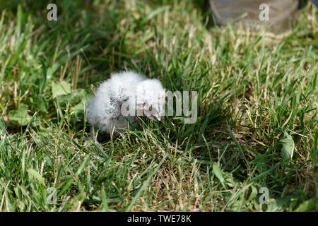 Owl chick - Stock Photo