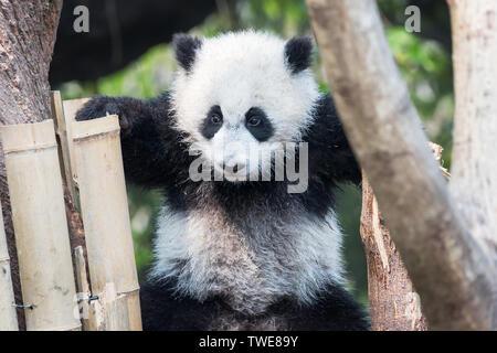 Panda cub playing in a tree,Chengdu,China - Stock Photo