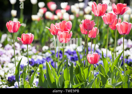 flowerbed with red tulips, white and blue pansies in spring park closeup view - Stock Photo