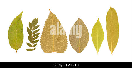 Set of dry pressed leaves of various shapes of different flower and trees isolated on white - Stock Photo
