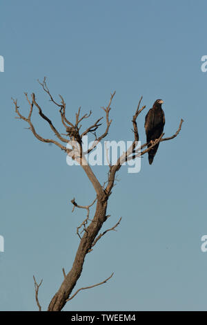 Black-breasted buzzard sitting on a tree branch in the outback of Australia looking for a prey. - Stock Photo