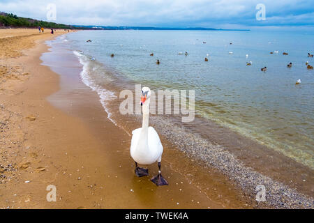 Swans on the beach at the Baltic Sea coast in Sopot Poland - Stock Photo