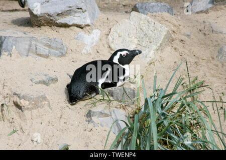 A group of Humboldt penguins (Spheniscus humboldti) - Stock Photo