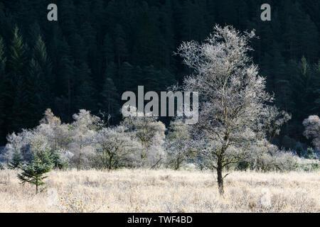 Frost covered trees in Glen Goil. - Stock Photo