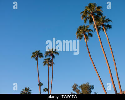 Tall palm trees in Palm Springs set against a deep blue sky. - Stock Photo