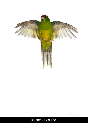 Cute young bright yellow / green Red crowned Kakariki bird. Flying / lift up showing belly. Isolated on white background. - Stock Photo
