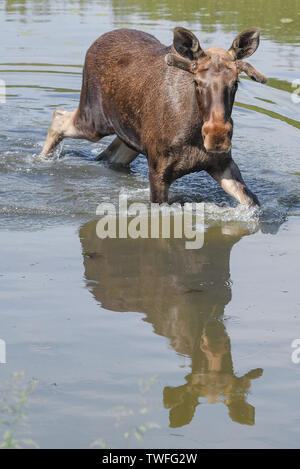 Kleptow, Germany. 19th June, 2019. The one year old moose bull Juri walks through a pond in the game enclosure of Thomas Golz, owner of the game enclosure Golz moose and reindeer farm. Credit: Patrick Pleul/dpa-Zentralbild/ZB/dpa/Alamy Live News - Stock Photo