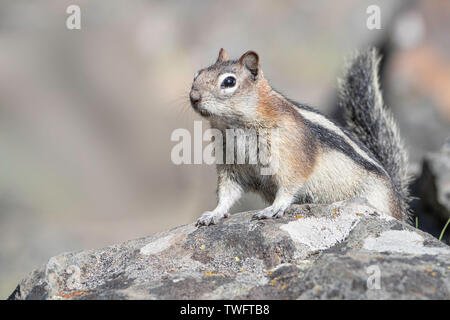 Golden-mantled ground squirrel (Callospermophilus lateralis) sitting on a rock. - Stock Photo