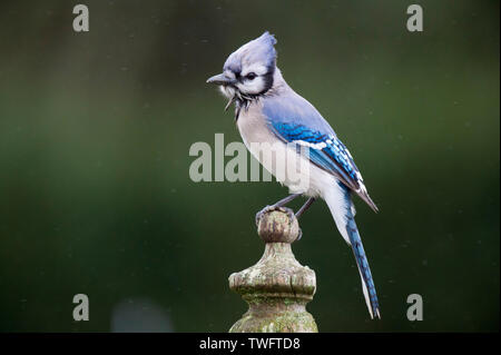 A colorful Blue Jay perched on a wooden fence post in a light rain with a smooth green background looks all wet and ruffled up. - Stock Photo