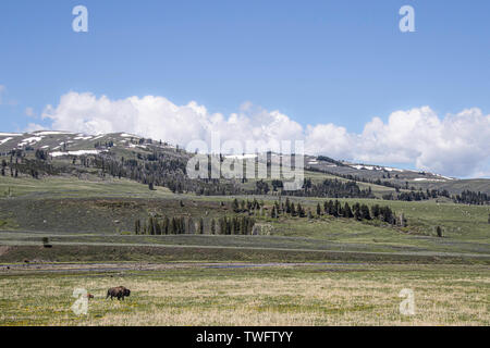 American Plains Bison and calf in the big plains of north america.  Wyoming, Yellowstone, USA - Stock Photo