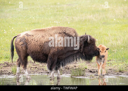 Bison cow and calf in Yellowstone - Stock Photo