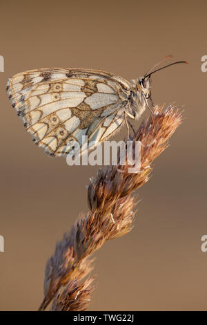 A female marbled white butterfly at rest on a grass stem in a flower meadow, Hampshire, UK - Stock Photo