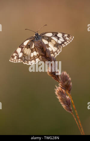 A marbled white butterfly with wings open catching the first light of the day in a a flower meadow, Hampshire, UK - Stock Photo