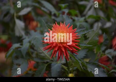 Rote Blüte einer Blume - Stock Photo