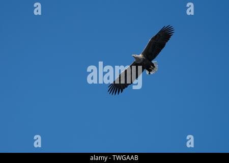 White Tailed Sea Eagle (Haliaeetus albicilla) in flight against a blue sky, Lofoten Islands, Norway - Stock Photo
