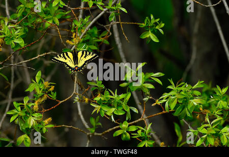 An Eastern Tiger Swallowtail Butterfly 'Papilio glaucus',perched on a branch in rural Alberta Canada. - Stock Photo