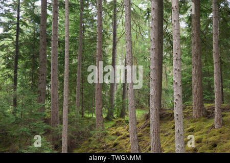 Woodland in Glen Affric near Plodda Falls, Scottish Highlands, UK. - Stock Photo