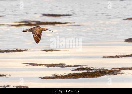 Curlew in flight, Jura, Hebrides - Stock Photo