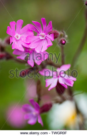 The wildflower, Red Campion (Silene dioica), on the Cornish coast - Stock Photo