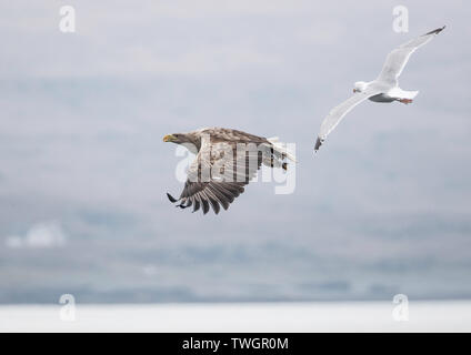 White Tailed Eagle in flight being mobbed by a common gull. - Stock Photo
