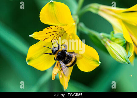 A bumble bee (Bombus) on the flower of a Peruvian lily (Alstroemeria) - Stock Photo