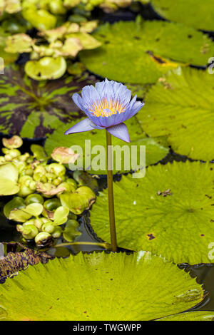 A purple water lily in a garden pond at a butterfly garden near Victoria BC. Stock Photo