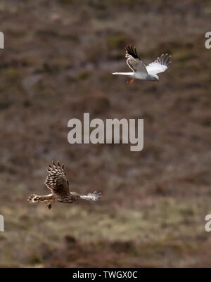 A pair of Hen Harriers (Circus cyaneus) perform a dramatic food pass before female returns to nest with the prey, North Uist, Outer Hebrides, Scotland - Stock Photo