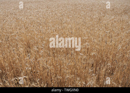 At the end of the spring, many wheat fields in Andalusia look gold, waiting for the harvest of the grain - Stock Photo