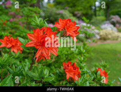 Orange azaleas blooming in the garden. - Stock Photo
